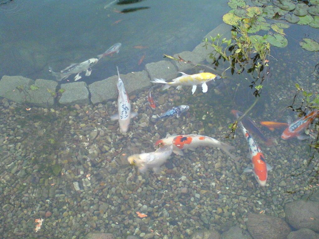 Teich oase diesdorf fische for Japanische zierfische