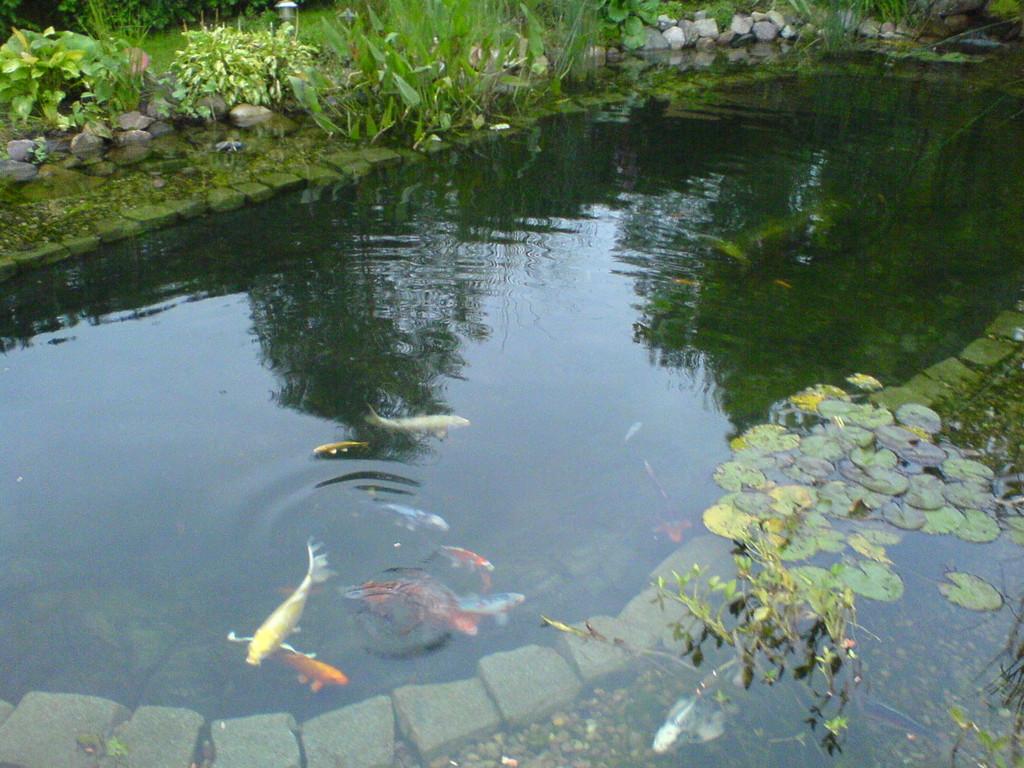 Teich oase diesdorf fische for Zierfische im teich